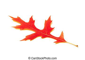 橡木, 白色, 叶子, 红的背景