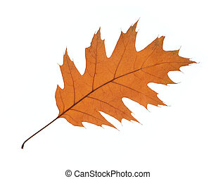 橡木, 白色, 叶子, 隔离, 背景