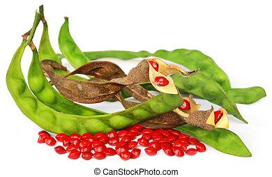 檀香木, 種子, 由于, 豆