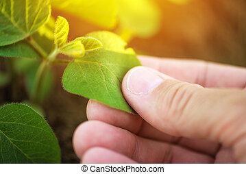 檢查, 植物, 葉子, 向上, 手, 大豆, 農夫, 關閉, 男性