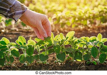 檢查, 植物, 葉子, 女性, 向上, 手, 大豆, 農夫, 關閉