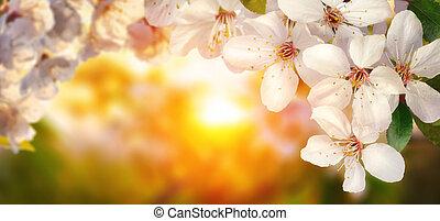 櫻桃花, 在, 傍晚, 寬, 格式