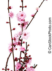 櫻桃花, 開花