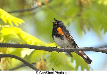 歌うこと, さえずり鳥