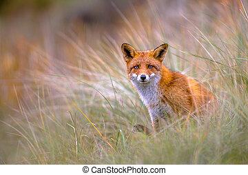 歐洲, 狐狸, 偷看, 透過, 植物