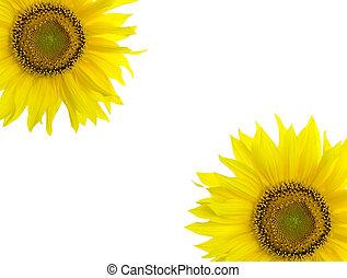 正文, 地方, 背景, 向日葵, 你