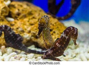 正貨, 北, 恋人, トロピカル, 大西洋, 動物, 一緒に, 魚, 海洋, seahorses, 傷つきやすい