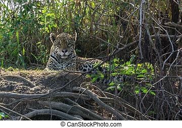 正面圖, ......的, 美洲虎, 站立, 在, 河岸, pantanal, 巴西