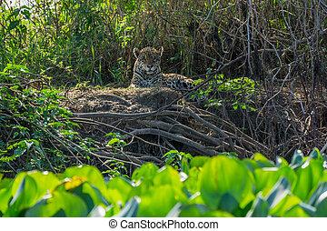 正面圖, ......的, 荒野, 美洲虎, 站立, 在, 河岸, pantanal, 巴西