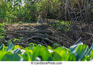 正面圖, ......的, 荒野, 美洲虎, 舔, 皮膚, 在, 河岸, pantanal, 巴西