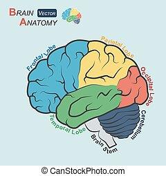 正面, 脳, (, parietal, 平ら, 丸い突出部, 解剖学, ), 時間的である, occipital, デザイン, 茎, cerebellum