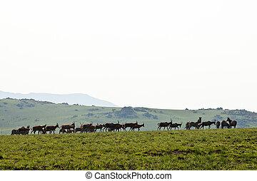 步行, 角馬, 斑馬, 小山