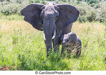 歩くこと, サバンナ, 家族, 象