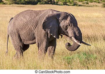 歩くこと, 象, サバンナ
