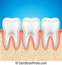 歯医者の, 歯, 健康, イラスト, anatomy., 隔離された, ベクトル, 人間の 骨
