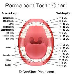 歯, dentiti, 永久である, 名前, 成人