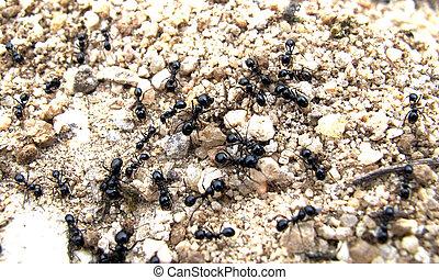 殖民地, ......的, 螞蟻, 工作, tirelessly