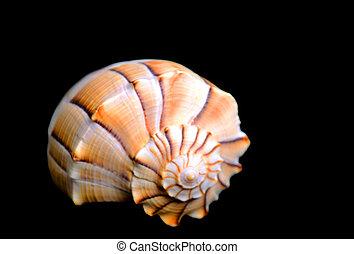 殻, 黒い背景