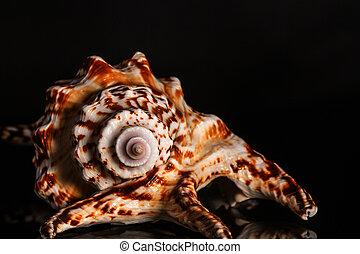 殻, 黒, らせん状に動きなさい, 海