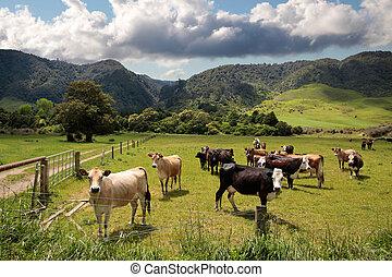 母牛, 上, 牧場