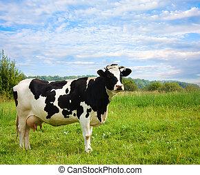 母牛, 上, 草地