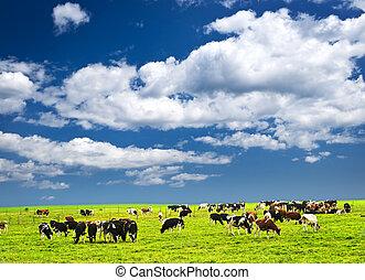 母牛, 在, 牧場