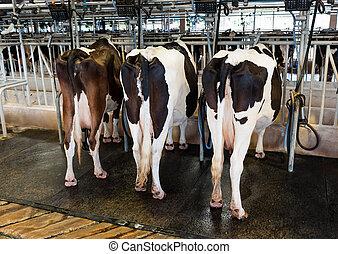 母牛, 擠奶