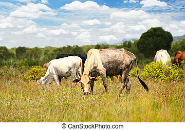 母牛, 牧場, 夏天
