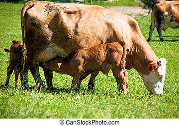 母牛, 牧場, 奶制品, 夏天