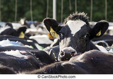 母牛, 設施, 工業,  -, 奶制品, 擠奶