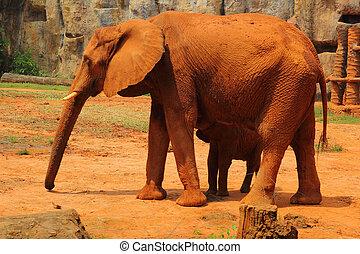 母, 象, 歩くこと, 赤ん坊, elephant., 屋外で