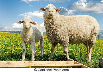 母, sheep, そして, 彼女, 子羊