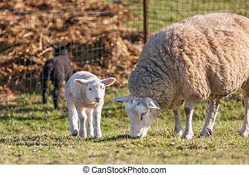 母, sheep, ∥で∥, 彼女, 子羊