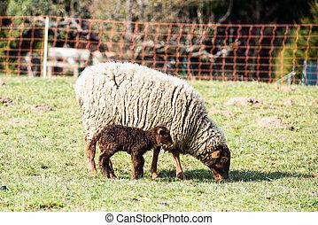 母, sheep, 子羊, 彼女