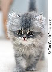 毛がふさふさしている, 子ネコ