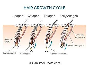 毛, 成長, 周期