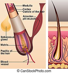 毛, 腺, 小胞, 構造, sebaceous