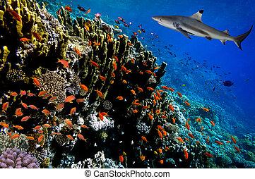 水下, 圖像, ......的, 珊瑚礁, 由于, 鯊魚