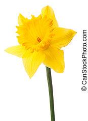 水仙, 花, 或者, 水仙, 被隔离, 在懷特上, 背景, cutout