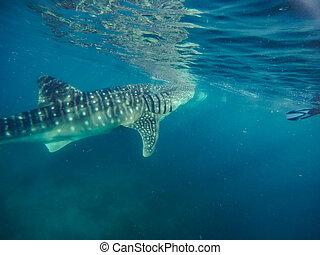 水泳, サメ, 都市, 海, oslob, クジラ, 観光客