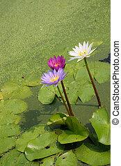 水, ∥あるいは∥, 池ユリ, 花, 花, 咲く, ロータス