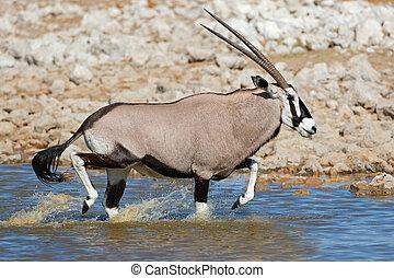 水, 動くこと, gemsbok, アンテロープ