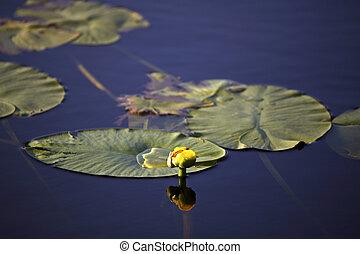 水, 北方, saskatchewan, 离开, 湖, 大, lilly