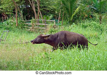 水 水牛, アジア人