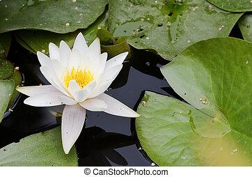 水, 白い花, ユリ