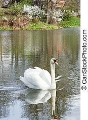 水, 白的天鹅, 反映