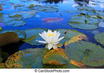水, 白色, 百合花