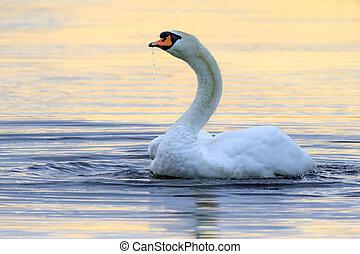 水, 白鳥, 低下