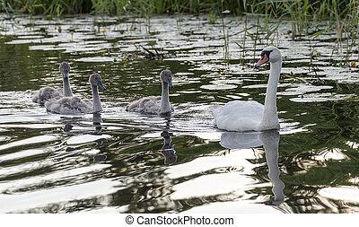 水, 白鳥, 家族