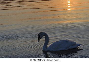 水, 白鳥, sunset.